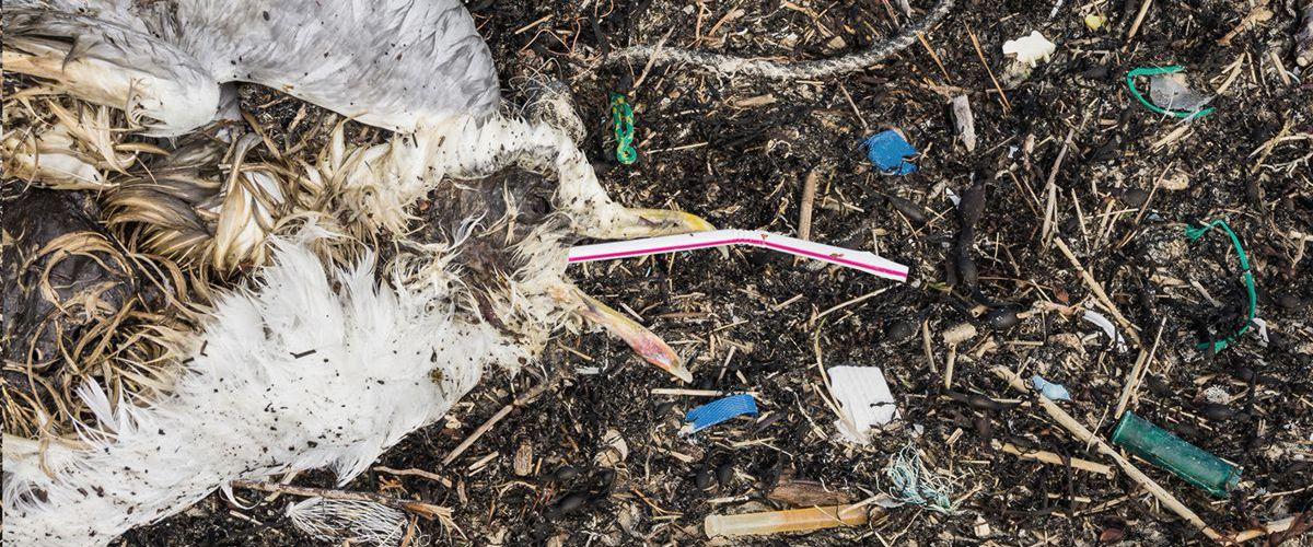 Ein elendiglich verendeter Wasservogel wurde obduziert. Sein Magen ist voller Plastikmüll.