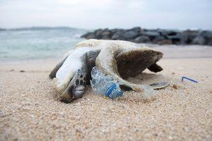 Eine Schildkröte deren Panzer von Plastik deformiert ist liegt am Strand.