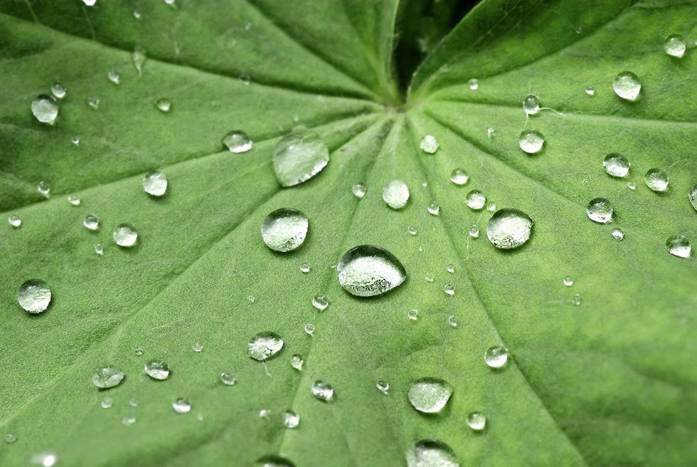 Efectul mărgelit asupra frunzei de lotus